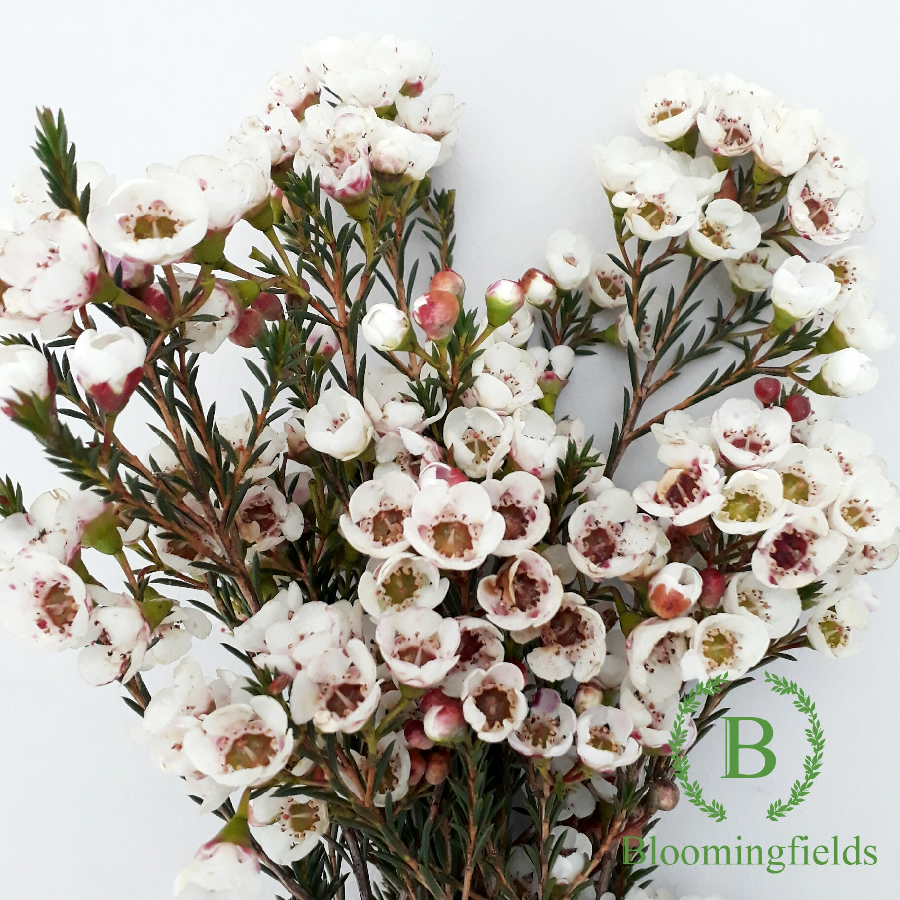 About Waxflowers image