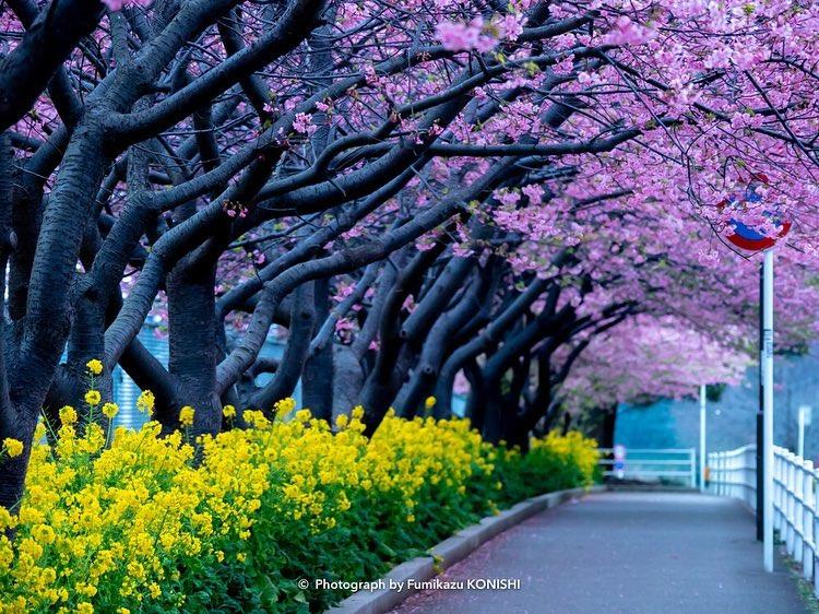 Tak Hanya Sakura, Inilah Bunga-bunga Musim Semi di Jepang yang Tak Kalah Cantik image